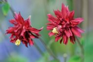 Aquilegia 'Ruby Port' 20 Seeds, Granny's Bonnet -Double, Burgundy red Flowers